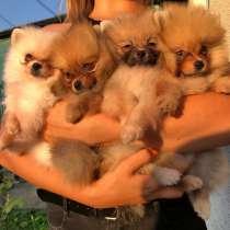 Продаются щенки шпица, в г.Париж