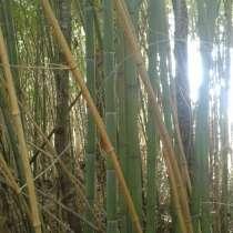 Бамбук больших диаметров, в Сочи