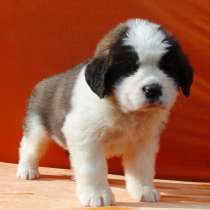 Sale. Puppies of long-haired senbernary. Arrange delivery, в Владивостоке