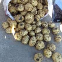 Картофель продовольственный потом от производителя, в Ростове-на-Дону
