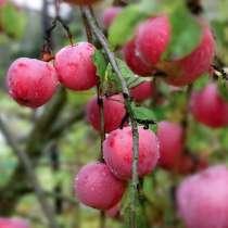 Саженцы плодово-ягодные, в Родниках