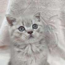 Срочно шотландские котята, в г.Рыбница