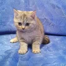 Шотландские котята, в Дмитрове