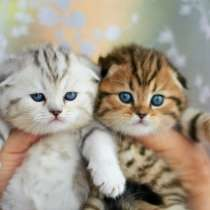 Пятнистые и мраморные вислоухие котята, в Санкт-Петербурге