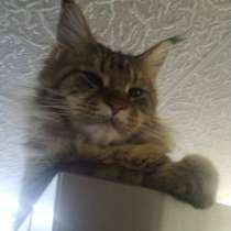 Котята Мейн-кун от больших родителей, в г.Минск