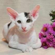 Ориентальные котята, в Нижнем Новгороде