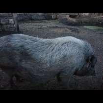 Вьетнамские вислобрюхие свиньи(боров, свиноматки), в Ленинск-Кузнецком