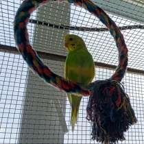 Волнистые попугаи молодежь, в Краснодаре