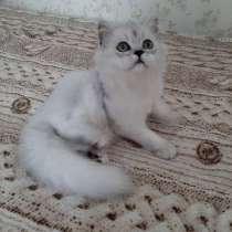 Шотландский котик, в г.Орша