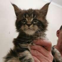 Продаю котенка-девочку Мейн-Кун, в г.Рига