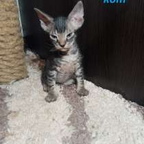 Котята донского сфинкса, в г.Гродно