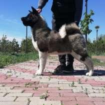Американская акита, девочка 6 мес, в г.Астана