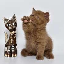 Британские котята, в г.Кохтла-Ярве