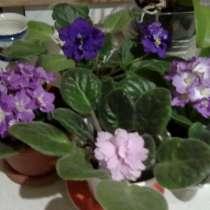 Махровые фиалки разных цветов, в Хабаровске