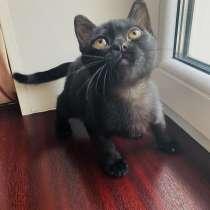 Бомбейский котик готов к переезду к новому владельцу, в г.Донецк