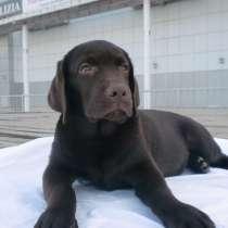 Продам щенков лабрадора тёмно-шоколадного окраса, в Омске