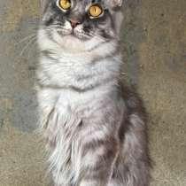 Кошка Мейн кун, в Лобне