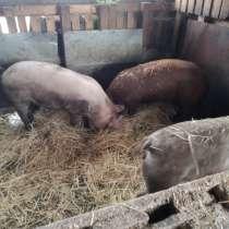 Продаю свинок, в Калаче-на-дону
