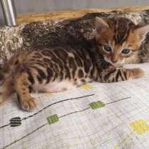 Бенгальские котята, в г.Минск