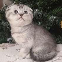 Продам котят шотландской вислоухой, в г.Краматорск