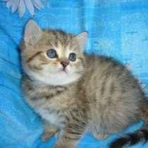 вислоухие и британские котята в Балаково, в Балаково