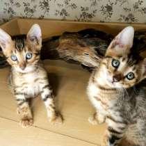 Бенгальские котята, в Нижнем Новгороде