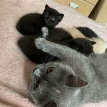 Котята от британской кошечки, в г.Гомель