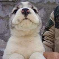 Продаются щенки алабай, в г.Донецк