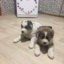 Продам щенков САО, в г.Никополь