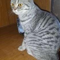 Продается шотландская кошка, в Сарапуле