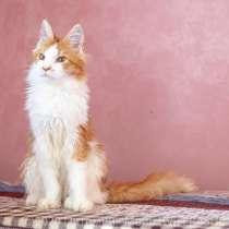 Котята Мейн кун, мальчики, в Рязани