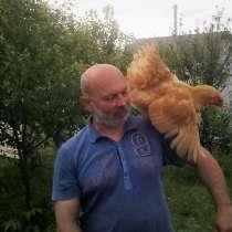 Инкубационное яйцо, суточные цыплята, в Уфе