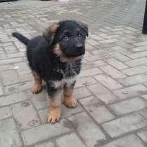 Продажа щенков немецкой овчарки, в Железногорске