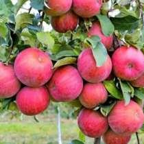 Саженцы яблони на подвое М106, в г.Фергана