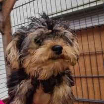 Ferkaufen Yorkshire Terrier, в г.Birstein