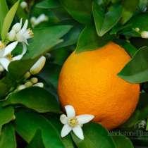 Лимоны плодоносящие, в Екатеринбурге