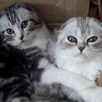 Шотландские котики, в Свободном