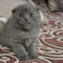 СРОЧНО куплю котёнка скотиш ФОЛД (БИШКЕК), в г.Бишкек