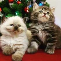 Чистокровные Сибирские котята, в Москве