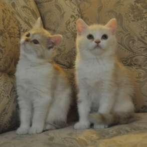 Шотландские котята c родословной, в Мурманске