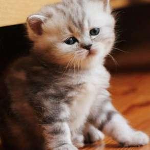 Шотландские котята из элитного питомника кошек«Silver Sharm», в Москве