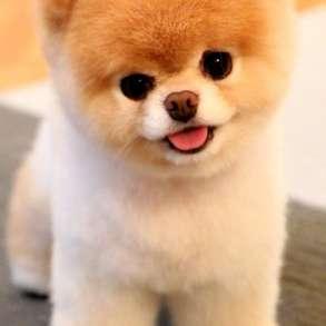 Продам щенка шпица, в г.Одесса