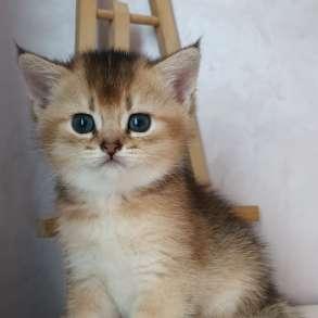 Британские котята окраса золотая шиншилла, в Москве