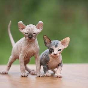 Эльф, бамбино или сфинкс, это кошка не нашей планеты, в г.Мюнхен