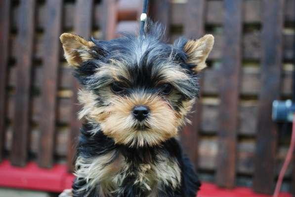 Продаются щенки йоркширского терьера в Москве фото 4