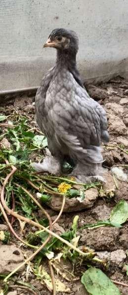 Цыплята породы кохинхин