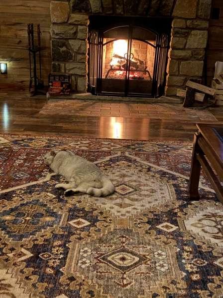 Шотланский кот (Straight) ждет невесту SCOTTISH FOLD в