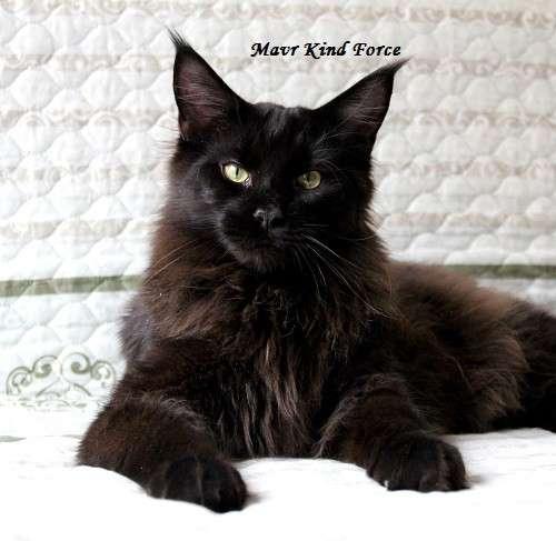 Жгуче черный котик мейн кун