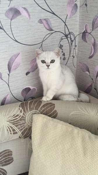 Британский клубный котенок девочка Скалли