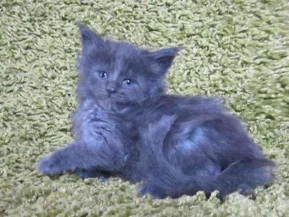 Котята мейн-кун в Уфе фото 4